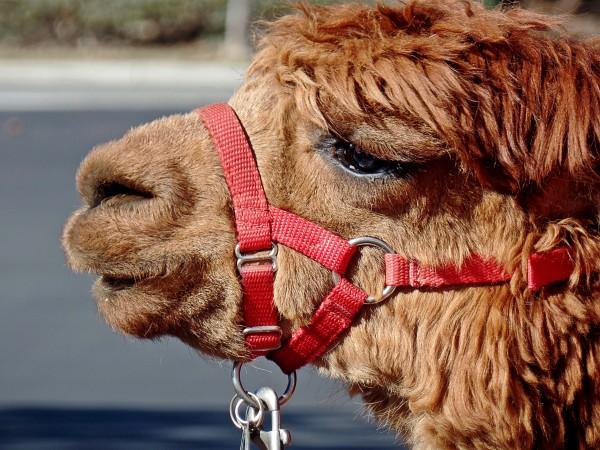 jasper the alpaca