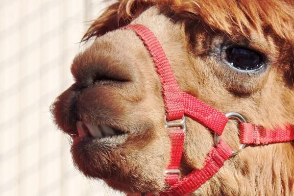 close up of alpaca teeth