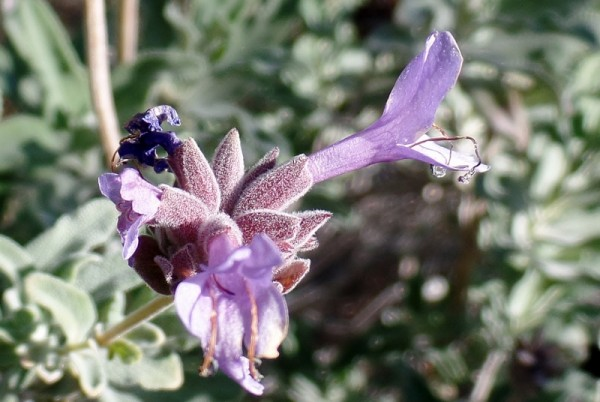 I was surprised to spy a few blossoms on this Salvia Bee's Bliss