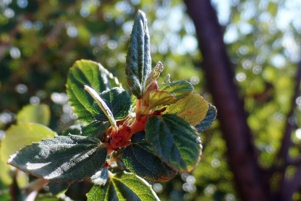 California lilac - Ceanothus