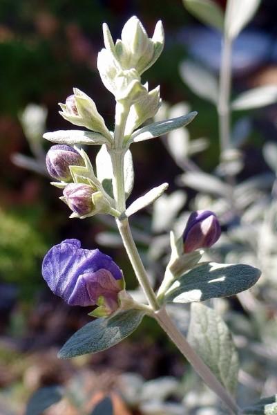 purple flower stalk