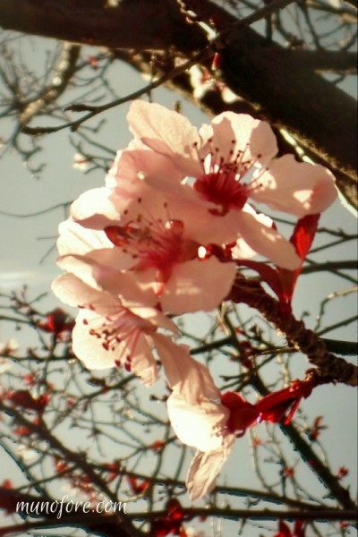 """Photos of plum tree blossoms, a """"friend of winter"""", symbol of endurance - pink flowers - photography - flower photography"""