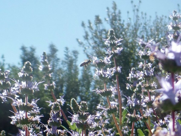 bee flying in salvia