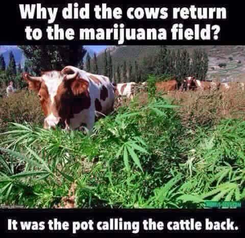 Why-did-the-cow-return-to-the-Marijuana-field-meme