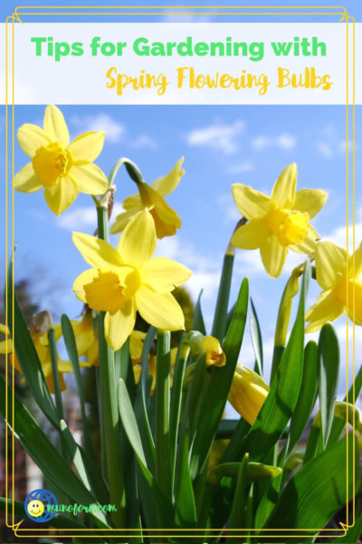 """daffodils with text overlay """"Tips for Gardening with Spring Flowering Bulbs"""""""