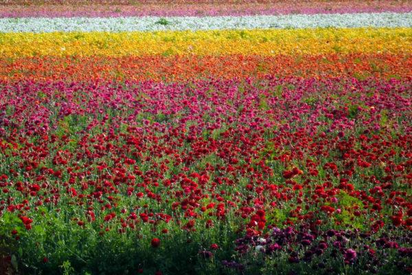 ranunculous fields in Carlsbad