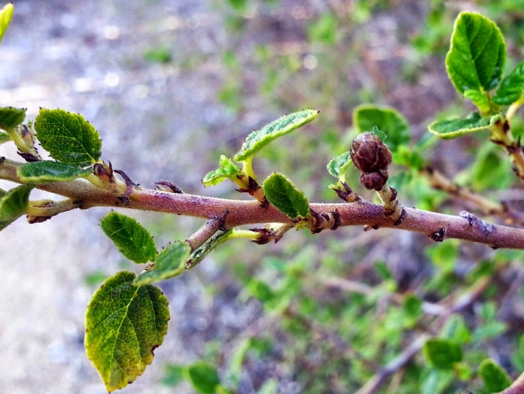 buds on ceonothus