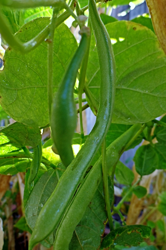 pole beans growing